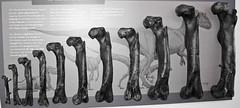 Allosaurus sp. (theropod dinosaur femur bones) (Morrison Formation, Upper Jurassic; Cleveland-Lloyd Dinosaur Quarry, Emery County, Utah, USA) 2