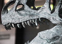 Allosaurus sp. (theropod dinosaur skull) (Morrison Formation, Upper Jurassic; Cleveland-Lloyd Dinosaur Quarry, Emery County, Utah, USA) 3
