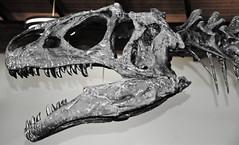Allosaurus sp. (theropod dinosaur skull) (Morrison Formation, Upper Jurassic; Cleveland-Lloyd Dinosaur Quarry, Emery County, Utah, USA) 1