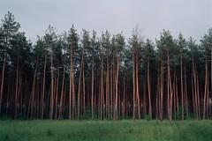 Стена леса / Forest wall