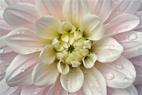 Heart of a white dahlia
