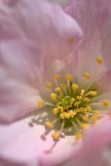 Inside a Cherry Blossom