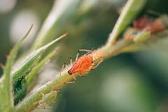 Pflanze befallen von Blattläusen. Schädlinge saugen  ihr den Lebenssaft aus