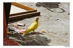Yellow Pigeon