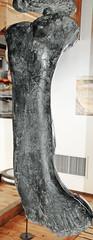 Camarasaurus sp. (sauropod dinosaur leg bone) (Morrison Formation, Upper Jurassic; Cleveland-Lloyd Dinosaur Quarry, Emery County, Utah, USA) 2