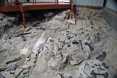 Dinosaur bones (Morrison Formation, Upper Jurassic; Cleveland-Lloyd Dinosaur Quarry, Emery County, Utah, USA) 4