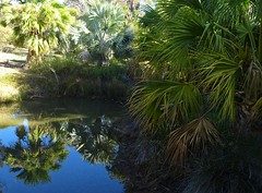 Adelaide. Urrbrae. Palm fringed pond and reflections in the Waite Arboritum of the University of Adelaide.