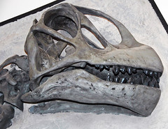 Camarasaurus sp. (sauropod dinosaur skull) (Morrison Formation, Upper Jurassic; Cleveland-Lloyd Dinosaur Quarry, Emery County, Utah, USA) 3