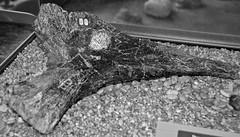 Camptosaurus sp. (ornithopod dinosaur hip bone with puncture hole) (Morrison Formation, Upper Jurassic; Cleveland-Lloyd Dinosaur Quarry, Emery County, Utah, USA) 1