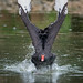 Sprinting Black Swan