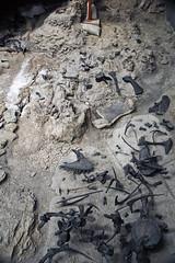 Dinosaur bones (Morrison Formation, Upper Jurassic; Cleveland-Lloyd Dinosaur Quarry, Emery County, Utah, USA) 3