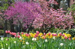 Tulips And Flowering Trees