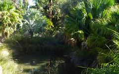 Adelaide. Urrbrae. Palm fringed pond in the Waite Arboritum of the University of Adelaide.
