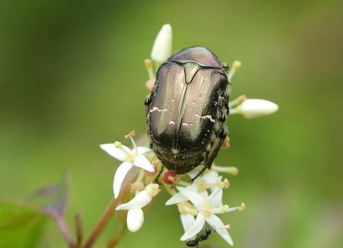 Rose Chafer beetle (Cetonia aurata)