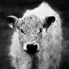 White Galloway Calf