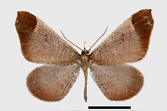 _ESL4324-30 combine Macrosoma amaculata psed