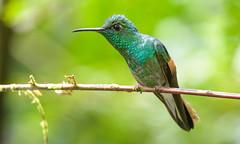 Stripe-tailed Hummingbird (male)