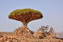 Dragon's Blood Tree