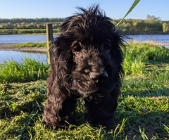 Dexter, by the River Tweed at Wark, May 2020