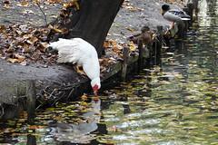 Bird drinking @ Pond @ Giardino della Villa Belgiojoso Bonaparte @ Milan