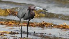 Little Blue Heron- Hudson Beach