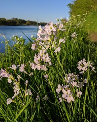 Flowers by the River Tweed at Wark, May 2020