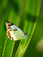 2019 Kimbiji,papillons