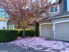 Cherry petals rain