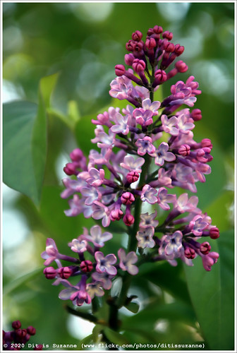 Syringa vulgaris | Common lilac | Сирень