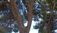 Adelaide. Urrbrae. Young ring tailed possum on pine tree fork Easter Sunday at St Pauls Catholic Monastery gardens.