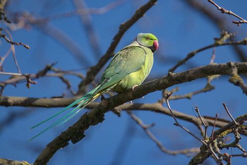 a male rose ringed parakeet (6K photo)