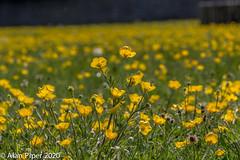 Imagine lying down in a meadow full of Buttercups