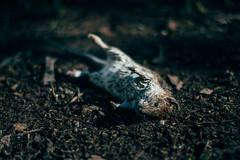 Close-up of a dead rat