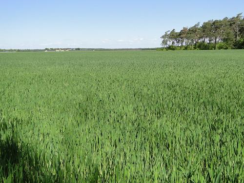 Grain field in Maarheeze