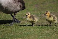 Kanadagäs- Canada geese