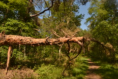 Dode boom in het bos (136FJAKA_3699)