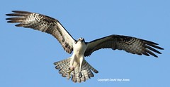 Osprey, carrying a fish, off the coast of Dauphin Island, Alabama,Gulf of Mexico
