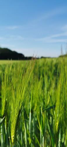Junger Weizen