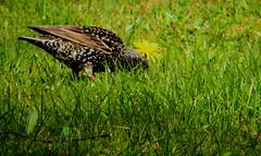 Common Starling, Sturnus vulgaris, Stare