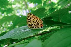 Japonica saepestriata (Lycaenidae: Theclinae: Theclini)