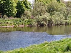 Spot the Heron, River Tweed walk at Coldstream, May 2020