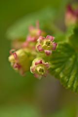 Black Currant Flowering