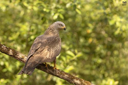 Milhafre-preto, Black Kite (Milvus migrans)