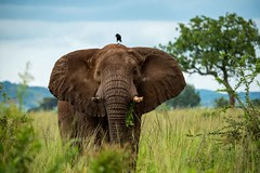 Kidepo Elephant