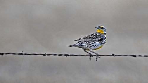 Western Meadowlark Pawnee National Grasslands DSC_7995