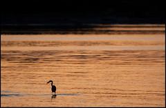 heron fishing at twilight - the Salish Sea