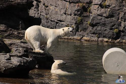 Eisbären Hertha und Tonja im Tierpark Berlin 09.05.2020 149
