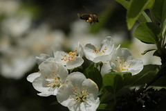 Honey bee with pollen and apple blossoms