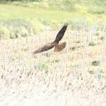 Aves en las lagunas de La Guardia (Toledo) Mayo 2020