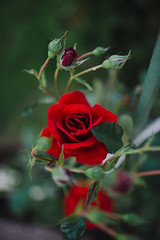 Red roses in the garden closeup.